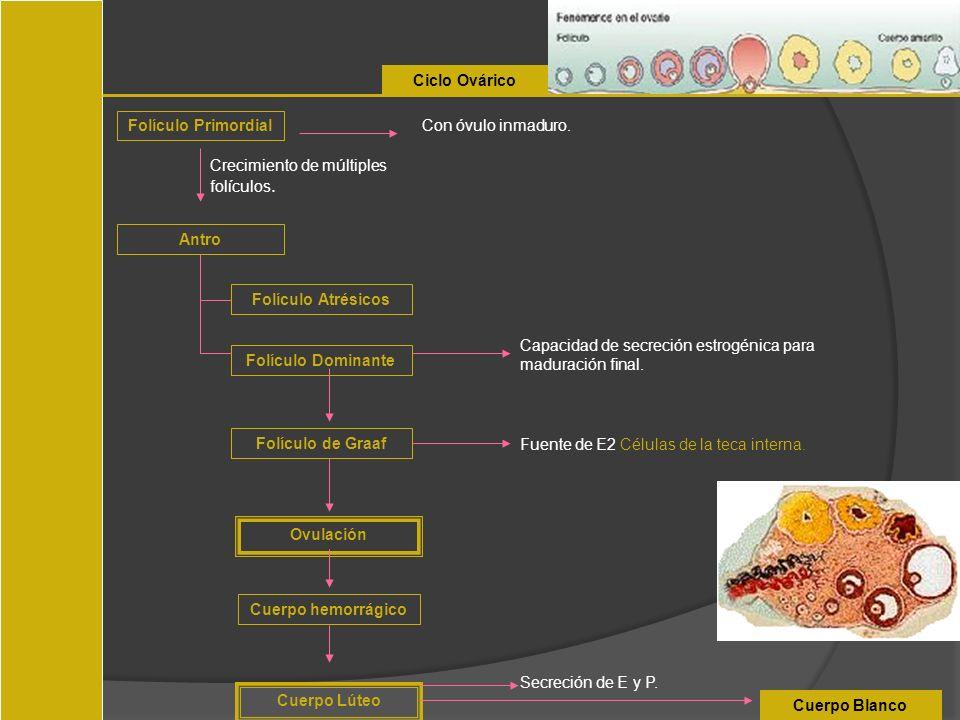 Ciclo OváricoFolículo Primordial. Con óvulo inmaduro. Crecimiento de múltiples folículos. Antro. Folículo Atrésicos.