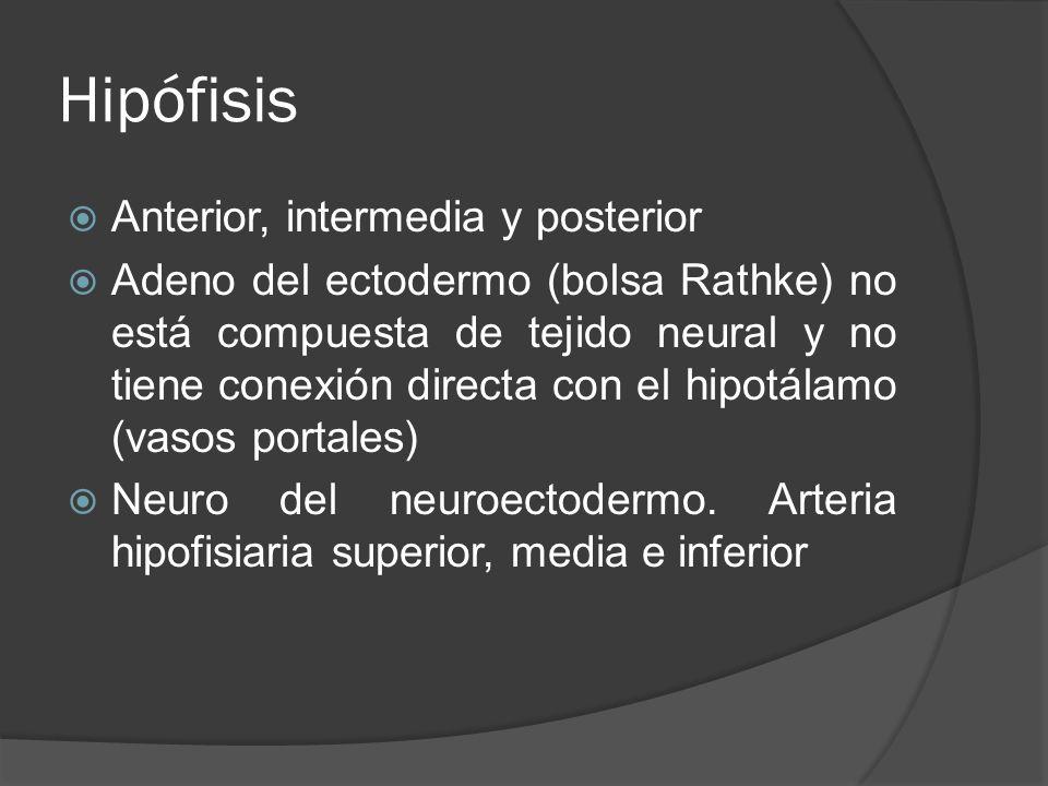 Hipófisis Anterior, intermedia y posterior