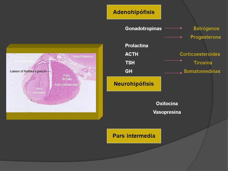 Adenohipófisis Neurohipófisis Pars intermedia