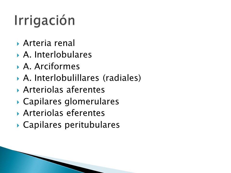 Irrigación Arteria renal A. Interlobulares A. Arciformes