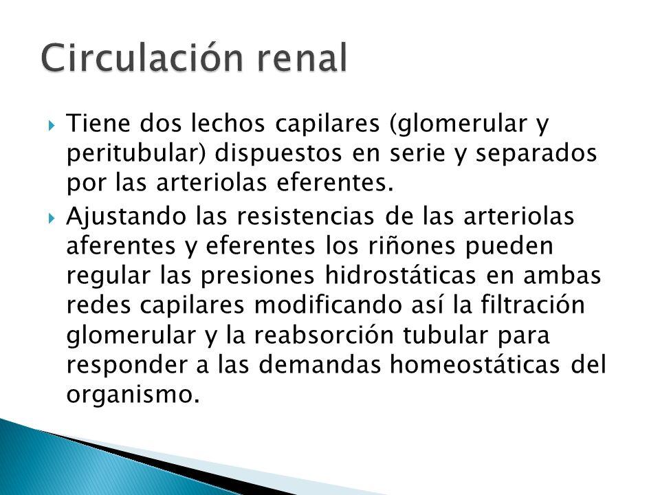 Circulación renal Tiene dos lechos capilares (glomerular y peritubular) dispuestos en serie y separados por las arteriolas eferentes.