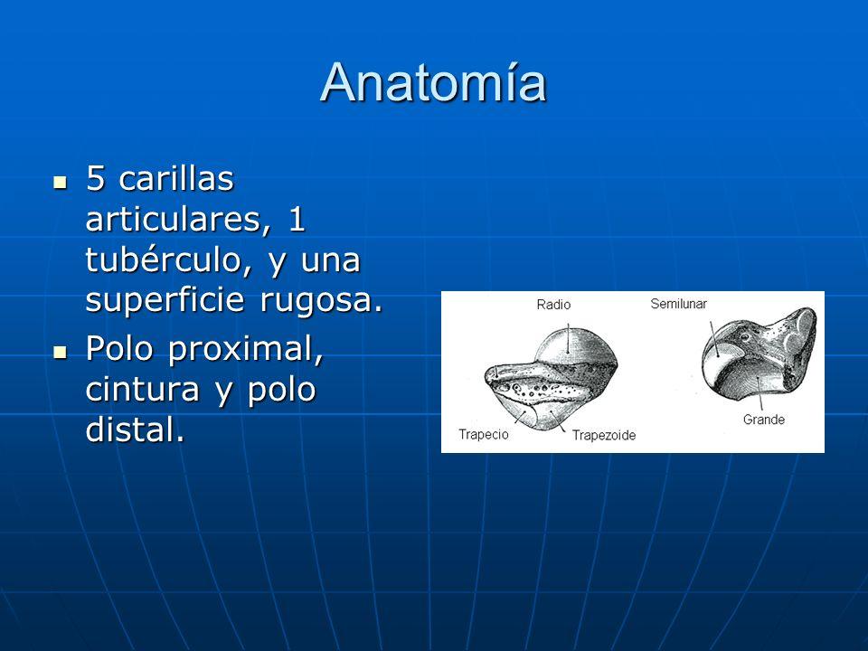 Anatomía 5 carillas articulares, 1 tubérculo, y una superficie rugosa.