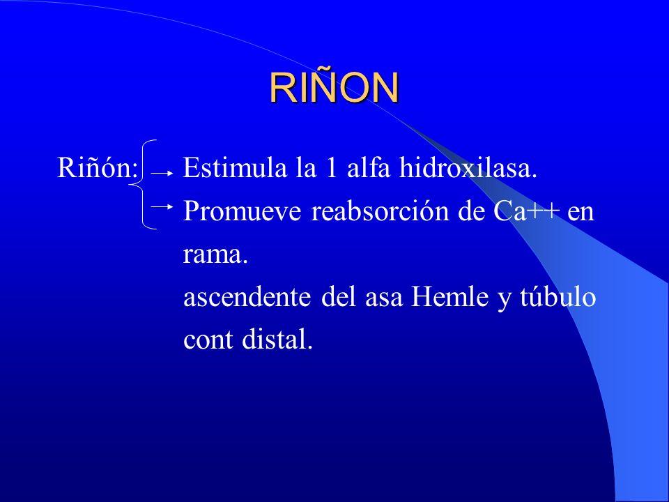 RIÑON Riñón: Estimula la 1 alfa hidroxilasa.