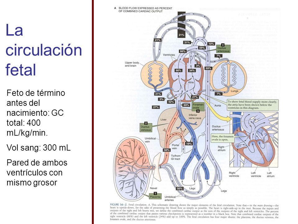 La circulación fetal Feto de término antes del nacimiento: GC total: 400 mL/kg/min. Vol sang: 300 mL.