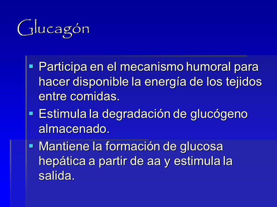 GlucagónParticipa en el mecanismo humoral para hacer disponible la energía de los tejidos entre comidas.