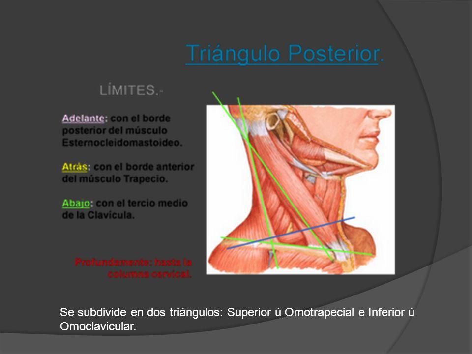 Se subdivide en dos triángulos: Superior ú Omotrapecial e Inferior ú Omoclavicular.