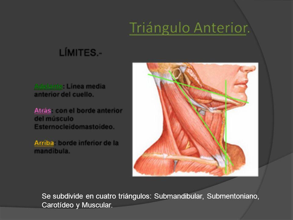 Se subdivide en cuatro triángulos: Submandibular, Submentoniano, Carotídeo y Muscular.