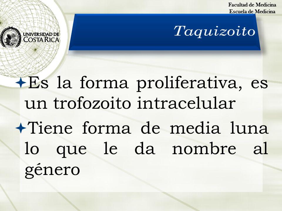 Es la forma proliferativa, es un trofozoito intracelular