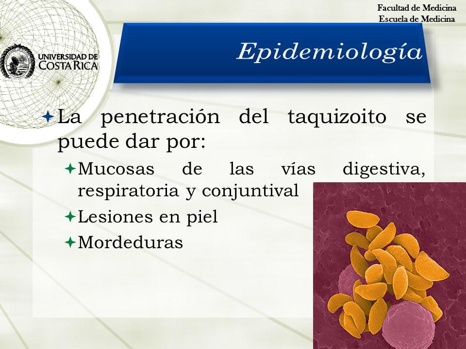 Epidemiología La penetración del taquizoito se puede dar por: