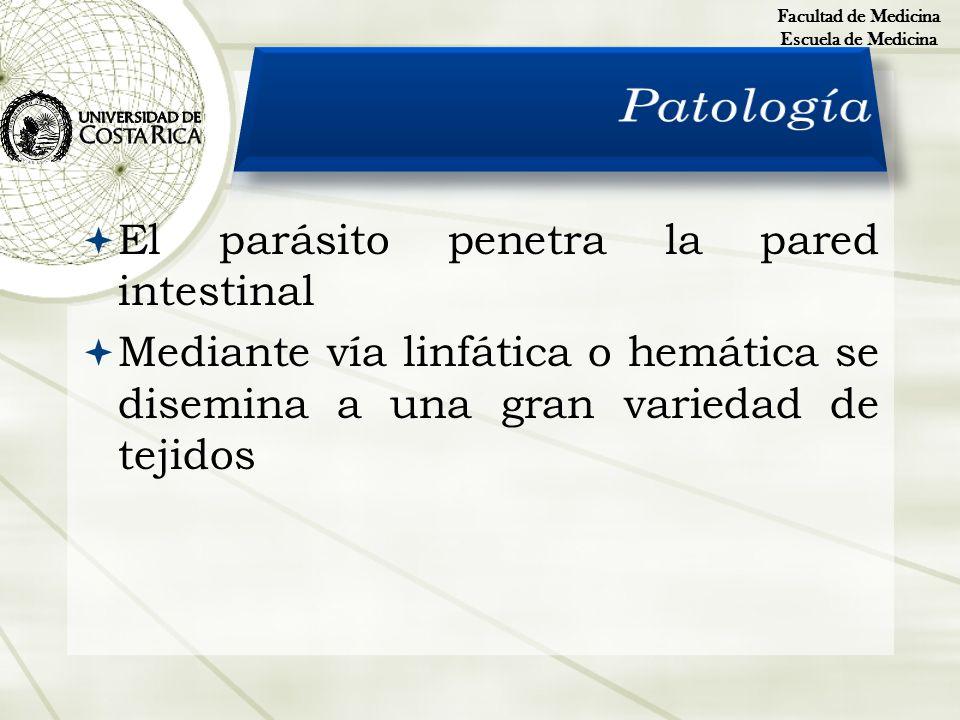 Patología El parásito penetra la pared intestinal