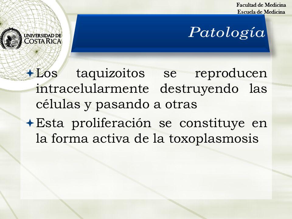Facultad de Medicina Escuela de Medicina. Patología. Los taquizoitos se reproducen intracelularmente destruyendo las células y pasando a otras.