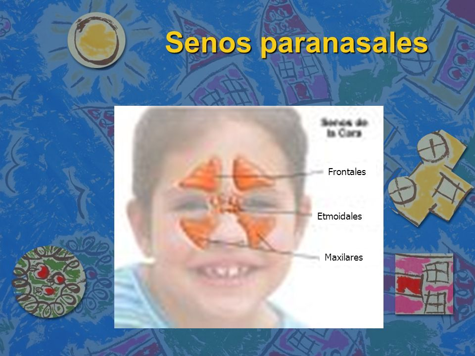 Senos paranasales Frontales Etmoidales Maxilares