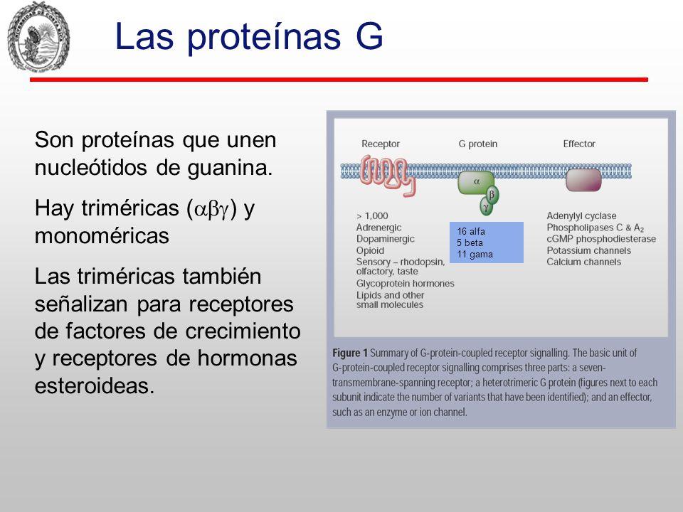 Las proteínas G Son proteínas que unen nucleótidos de guanina.
