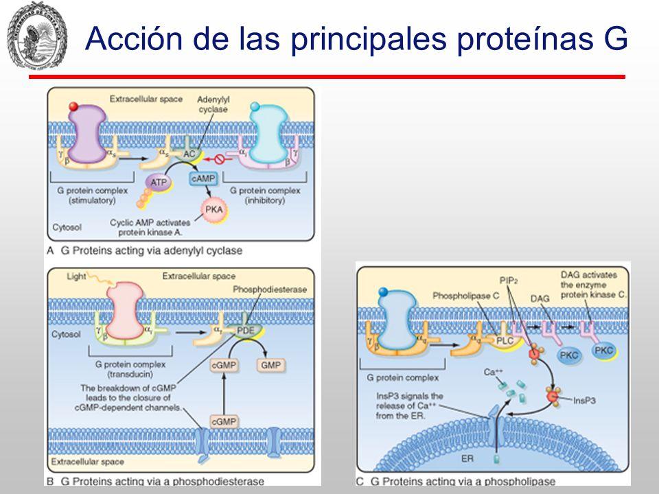 Acción de las principales proteínas G