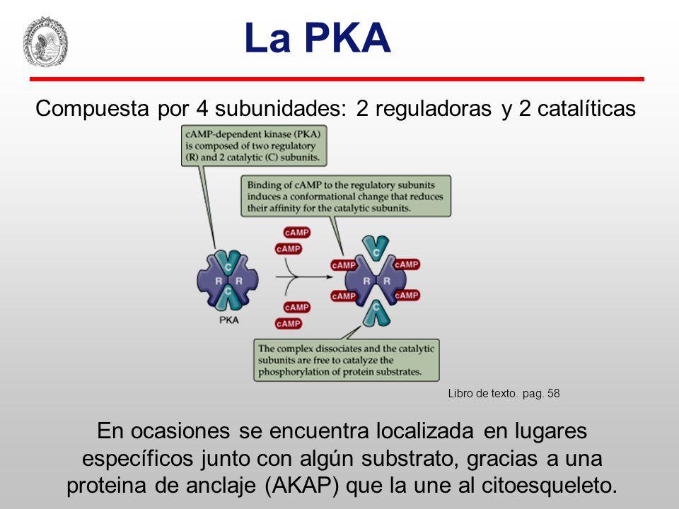 La PKA Compuesta por 4 subunidades: 2 reguladoras y 2 catalíticas