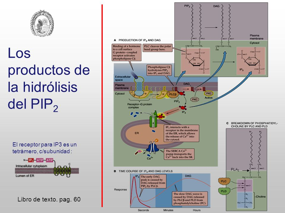 Los productos de la hidrólisis del PIP2