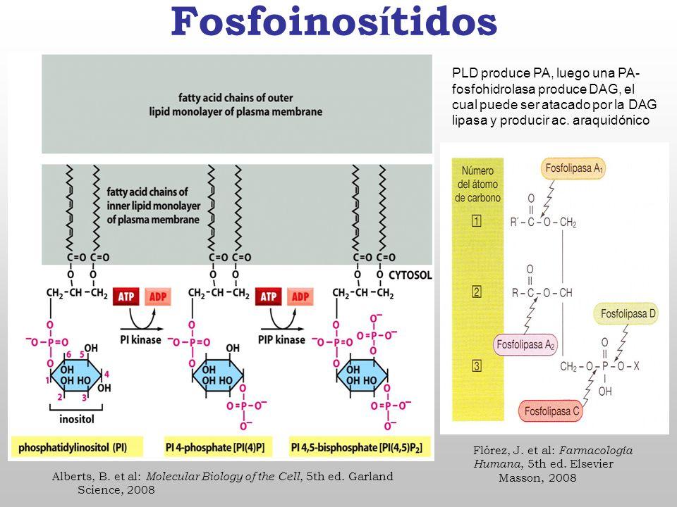 Fosfoinosítidos PLD produce PA, luego una PA-fosfohidrolasa produce DAG, el cual puede ser atacado por la DAG lipasa y producir ac. araquidónico.