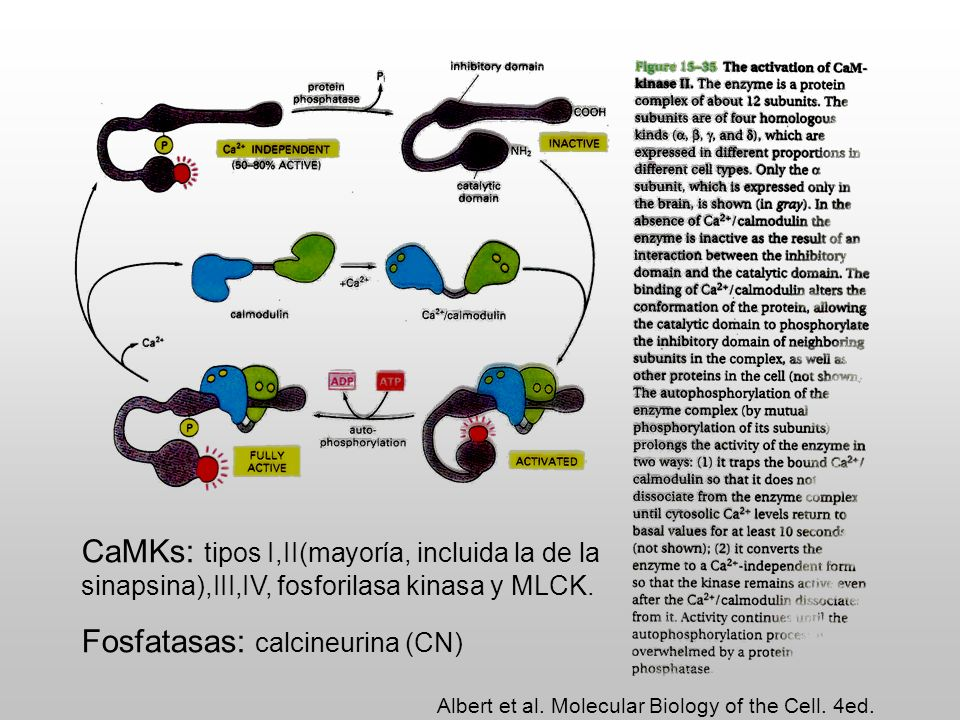 Fosfatasas: calcineurina (CN)