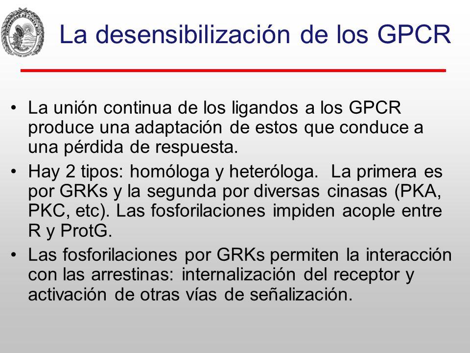 La desensibilización de los GPCR