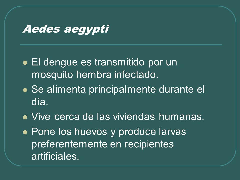 Aedes aegyptiEl dengue es transmitido por un mosquito hembra infectado. Se alimenta principalmente durante el día.