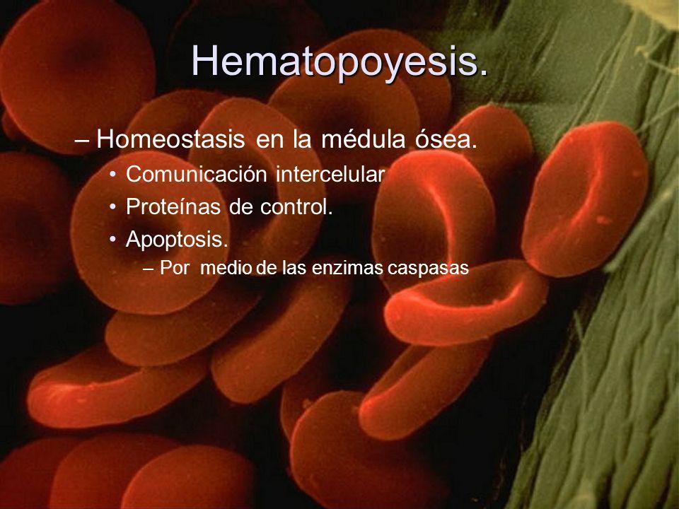 Hematopoyesis. Homeostasis en la médula ósea.