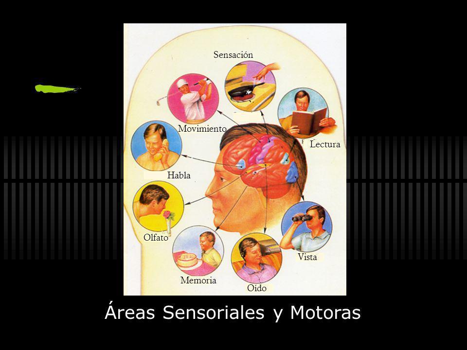 Áreas Sensoriales y Motoras