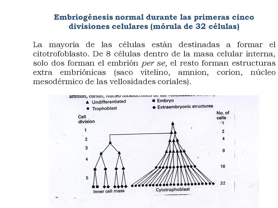 Embriogénesis normal durante las primeras cinco divisiones celulares (mórula de 32 células)