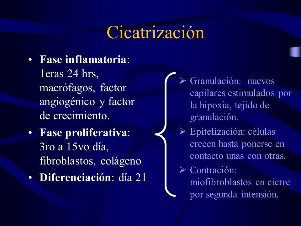 Cicatrización Fase inflamatoria: 1eras 24 hrs, macrófagos, factor angiogénico y factor de crecimiento.