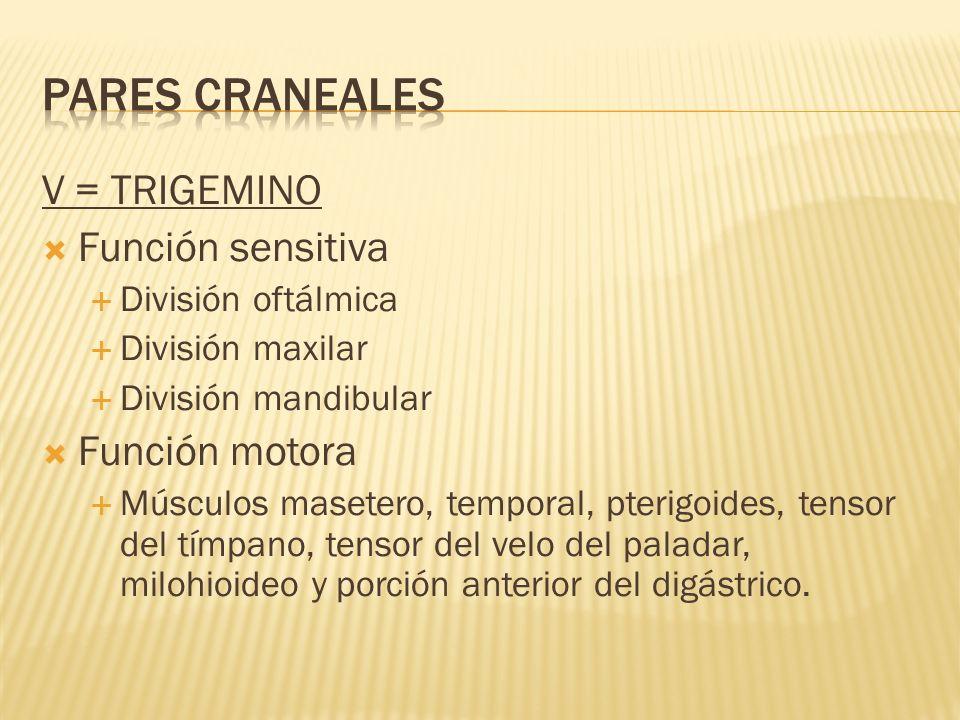 PARES CRANEALES V = TRIGEMINO Función sensitiva Función motora