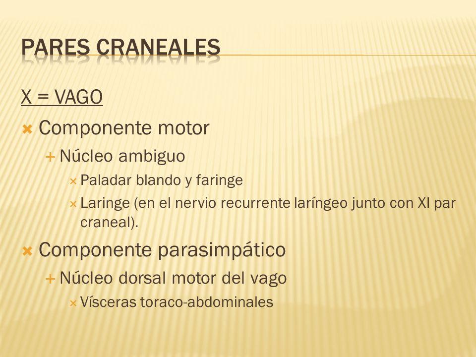 PARES CRANEALES X = VAGO Componente motor Componente parasimpático
