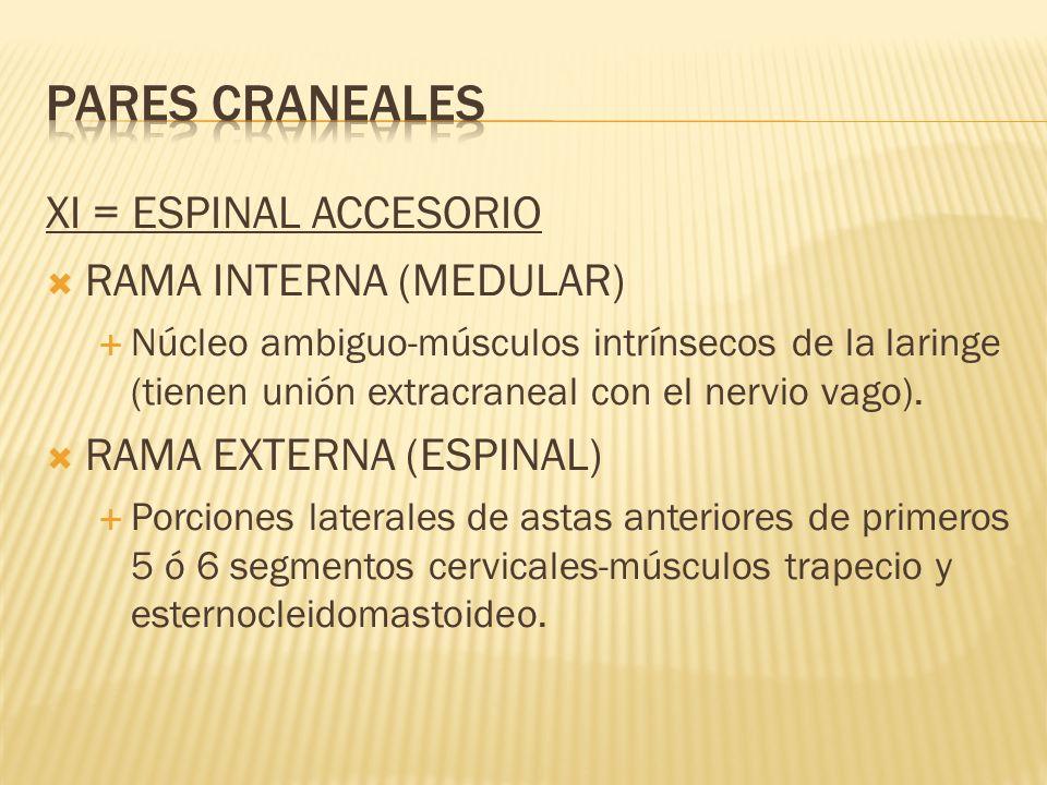 PARES CRANEALES XI = ESPINAL ACCESORIO RAMA INTERNA (MEDULAR)