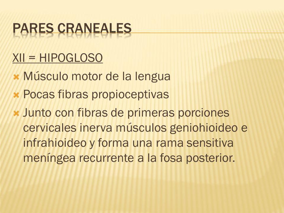 PARES CRANEALES XII = HIPOGLOSO Músculo motor de la lengua