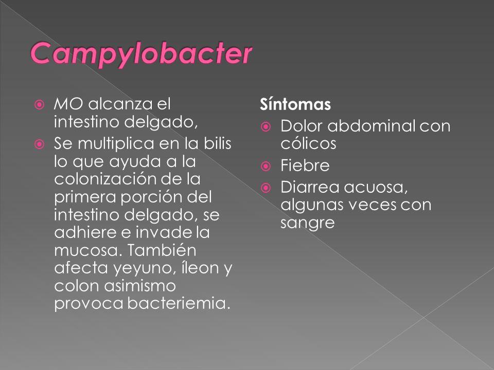Campylobacter MO alcanza el intestino delgado,