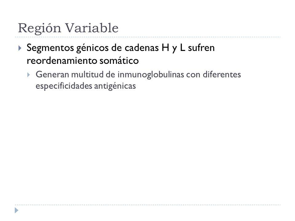 Región Variable Segmentos génicos de cadenas H y L sufren reordenamiento somático.