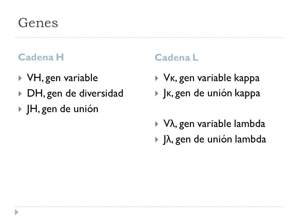 Genes VH, gen variable DH, gen de diversidad JH, gen de unión