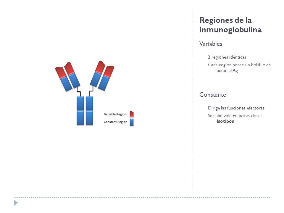 Regiones de la inmunoglobulina