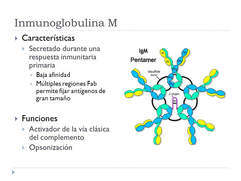 Inmunoglobulina M Características Funciones