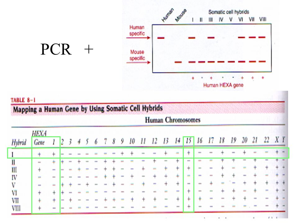 PCR +Importante determinar si el gen que se está expresando es del ratón o del Ho. 1-PCR para amplificar ambos.