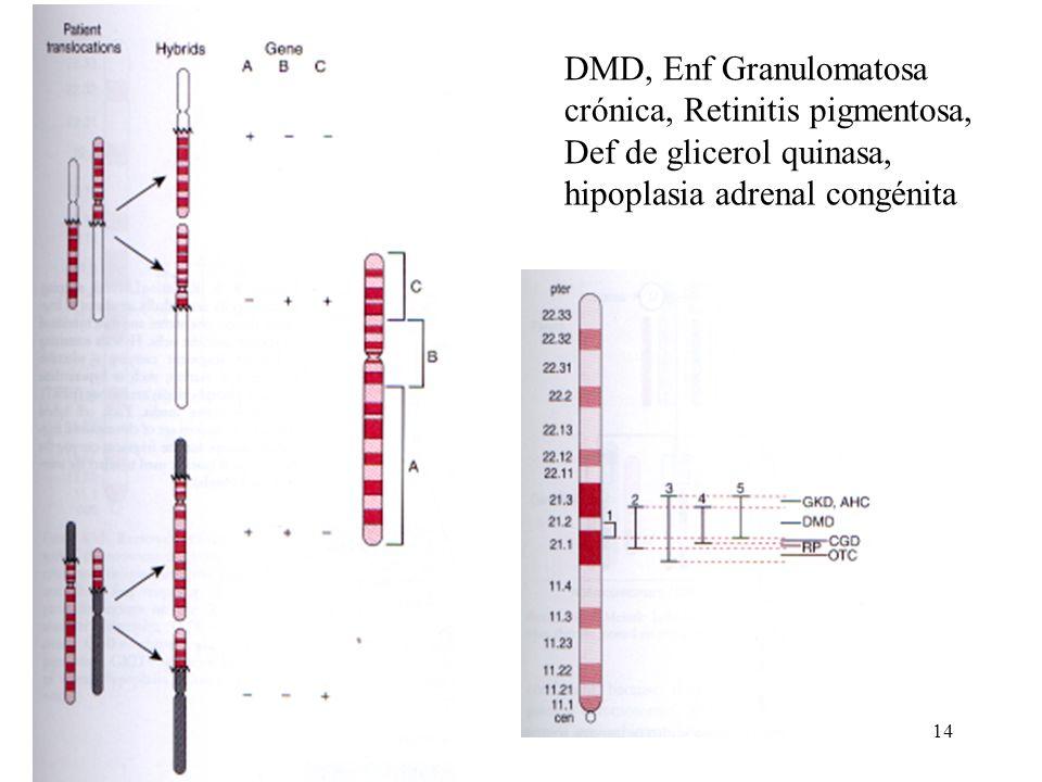 DMD, Enf Granulomatosa crónica, Retinitis pigmentosa, Def de glicerol quinasa, hipoplasia adrenal congénita
