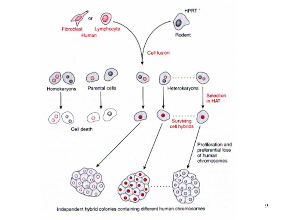 Mezcla de çeels de Hombre y ratón en capas o suspención---> agentes que promueven fusión de membranas plasmáticas --> fusión de céls --->núcleos permanecen separados en el mismo citopasma