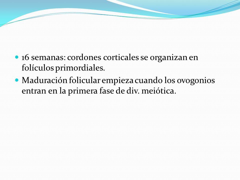 16 semanas: cordones corticales se organizan en folículos primordiales.