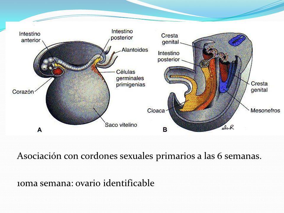 Asociación con cordones sexuales primarios a las 6 semanas.
