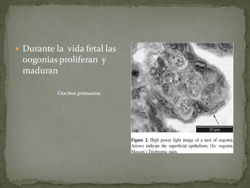 Durante la vida fetal las oogonias proliferan y maduran
