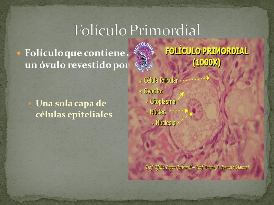 Folículo Primordial Folículo que contiene a un óvulo revestido por: