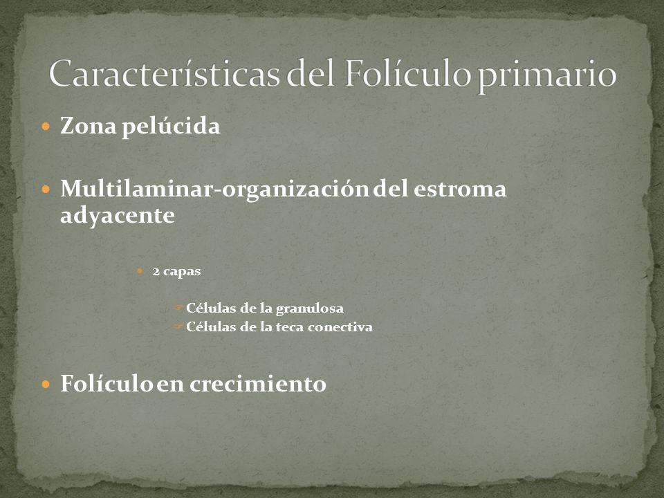 Características del Folículo primario