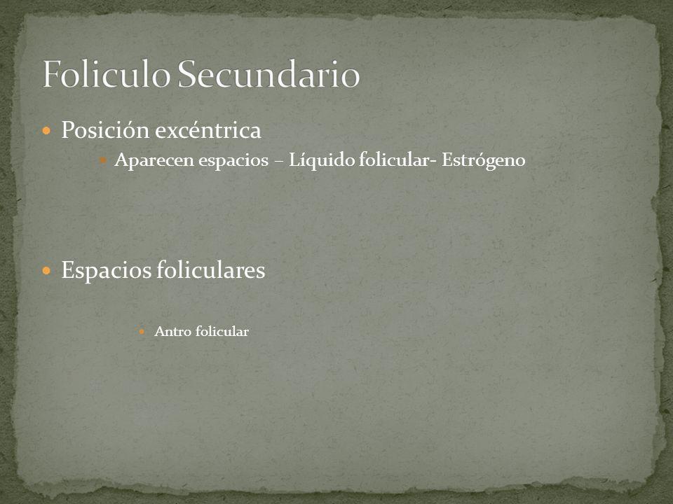 Foliculo Secundario Posición excéntrica Espacios foliculares