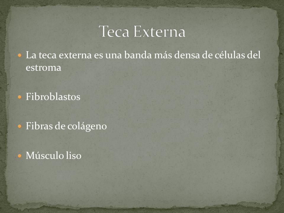 Teca Externa La teca externa es una banda más densa de células del estroma. Fibroblastos. Fibras de colágeno.