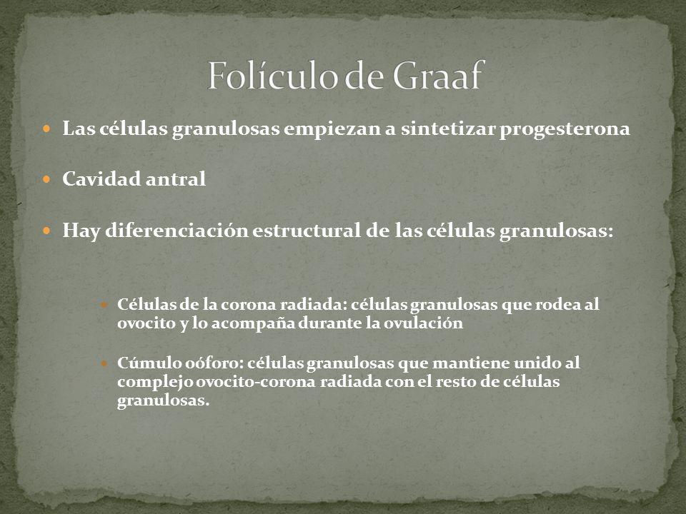 Folículo de Graaf Las células granulosas empiezan a sintetizar progesterona. Cavidad antral.