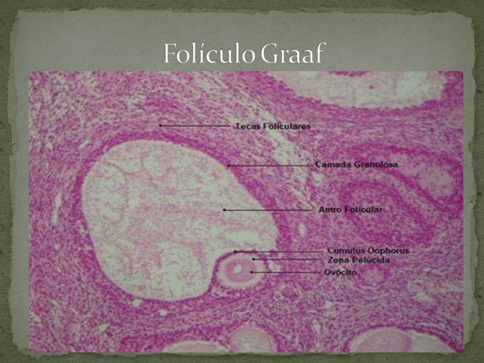 Folículo Graaf