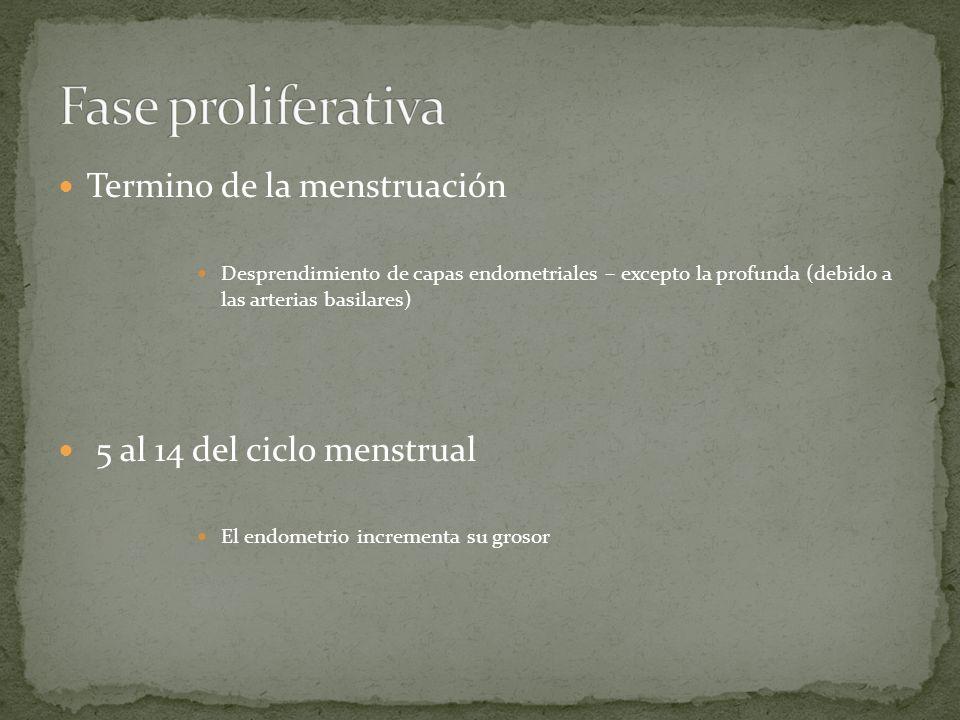 Fase proliferativa Termino de la menstruación